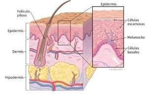Esquema donde se muestran la ubicación de las capas de la piel y tipo de células encontradas en cada una de ellas.